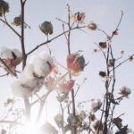 cotton is one of the best-known fibres for apparel. the cotton plant is grown for the only purpose of using them for fibre. today, especially organic cotton farming is gaining popularity