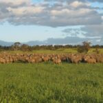 a flock of merino sheep grazing in australia, one of the largest wool growing countries. merino is a versatile natural fibre, which gain increasing popularity.